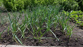 Letto del giardino di aglio verde in giardino stock footage