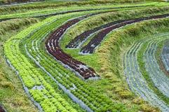 Letto di agricoltura della lattuga sulla collina. Fotografia Stock