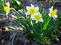 Letto di fiore con i narcisi dei fiori Fotografia Stock Libera da Diritti