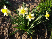 Letto di fiore con i narcisi dei fiori Fotografie Stock