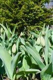 Letto di fiore con i tulipani sotto l'abete immagine stock libera da diritti
