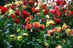 Letto di fiore con le dalie Fotografia Stock Libera da Diritti