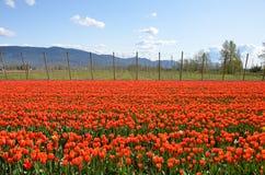 Letto di fiore dei tulipani Immagini Stock