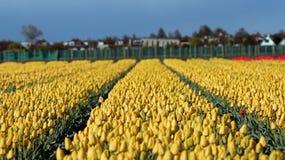 Letto di fiore dei tulipani gialli Fotografia Stock