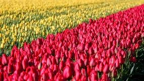 Letto di fiore dei tulipani gialli e rossi Fotografia Stock