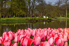 Letto di fiore dei tulipani rosa come priorità alta nel parco a Keukenhof Immagini Stock