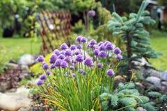Letto di fiore dell'allium del giardino Fotografia Stock Libera da Diritti