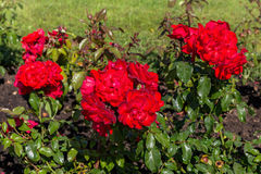 Letto di fiore delle rose rosse Fotografia Stock Libera da Diritti