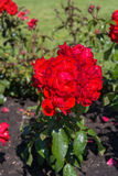 Letto di fiore delle rose rosse Immagine Stock