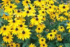 Letto di fiore di margherita gialla. Fotografie Stock
