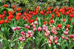 Letto di fiore di multi tulipani di colore Immagini Stock Libere da Diritti