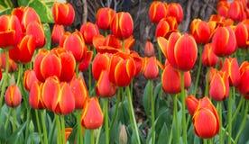 Letto di fiore di multi tulipani di colore Fotografia Stock Libera da Diritti