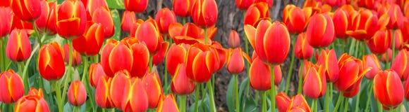 Letto di fiore di multi tulipani di colore Immagine Stock