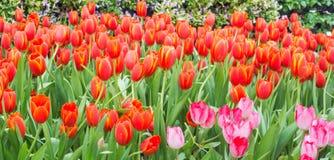 Letto di fiore di multi tulipani di colore Immagine Stock Libera da Diritti