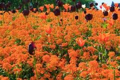 Letto di fiore molto ammucchiato con i tulipani arancio in un parco Fotografie Stock