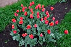Letto di fiore piantato con i tulipani rossi Fotografia Stock