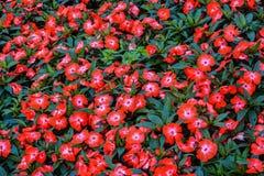 Letto di fiore rosso Immagine Stock