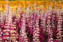Letto di fiore urbano con il coleus ed i tageti rossi di fioritura fotografia stock