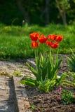 Letto di Fower con i tulipani Fotografia Stock Libera da Diritti