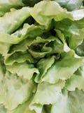 Lettucce images libres de droits