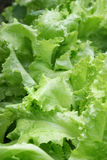 Lettuce 1. Fresh lettuce in agarden after rain Stock Image