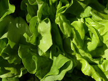 Lettuce. Wet lettuce on the market stock images