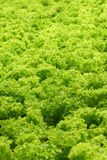 Lettuce. Field of green fresh lettuce stock images