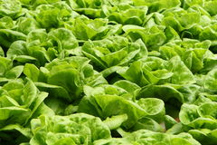 Lettuce. Field of green fresh butterhead lettuce stock image