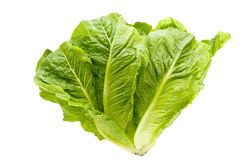 Lettuce. Royalty Free Stock Photo