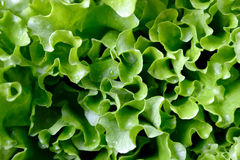 Lettuce. Leaves lettuce with drops of water Royalty Free Stock Image