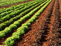 Lettuce. Green and red lettuce field royalty free stock photos