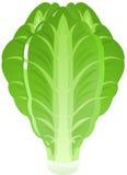 Lettuce royalty free illustration