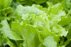 Free Lettuce Stock Photos - 13181023