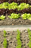 Lettuce. Rows of green and red lettuce and parsley in an allotment garden royalty free stock photo