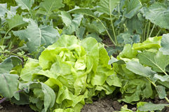 Lettuce. A nice fresh head of lettuce in an allotment garden royalty free stock image