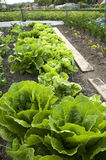 Lettuce. And different other vegetables in an allotment garden royalty free stock photography