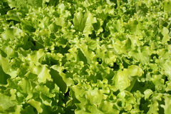 Lettuce. Growing Royalty Free Stock Images