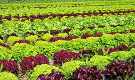 Lettuce. Field of fresh and tasty salad/lettuce plantation Stock Photos