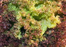 Lettuce. Close up of Lollo rosso lettuce Royalty Free Stock Photos