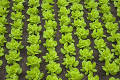 Lettuce. Rows of green fresh butter-lettuce Royalty Free Stock Photography