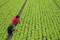 Lettuce. Harvest of  green fresh lettuce by two women Stock Photos