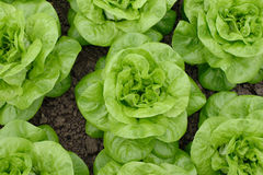 Lettuce. Image taken from above see my other  images Royalty Free Stock Photo
