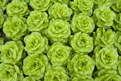 Lettuce. Image taken from above Stock Photography