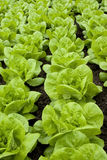 Lettuce. Rows of lettuce or butter-lettuce Royalty Free Stock Photos