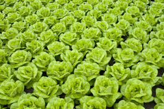 Lettuce. Rows of fresh green lettuce or butter-lettuce Royalty Free Stock Photography