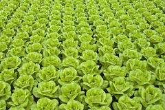 Lettuce. Rows of fresh green lettuce or butter-lettuce. Please take a look at my other images of lettuce Stock Photo