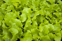 Lettuce. Fresh green lettuce growing in a backyard garden can be used as a background Stock Photography