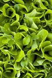 Lettuce. Field green organic farm Royalty Free Stock Photography