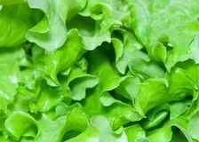 Lettuce 2. Extreme close-up view of lettuce leaves royalty free stock photo