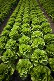 Lettuce royalty free stock image